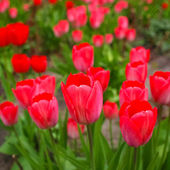 Tulips picture — Stock Photo