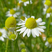 Chamomile picture — Stockfoto