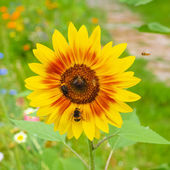 Sunflower flower — Stock Photo