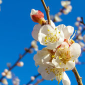 Fruit tree flowers — Stock Photo