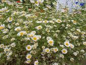Flor de camomila — Fotografia Stock