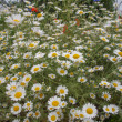 Camomile flower — Photo