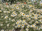 Fiore di camomilla — Foto Stock
