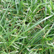 Grass meadow weed — Stock Photo #30021377