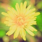 ретро цикорий цветок — Стоковое фото