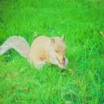 ������, ������: Retro look Squirrel