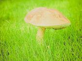 Retro look Mushroom — Stock Photo