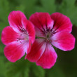 Geranium — Stock Photo