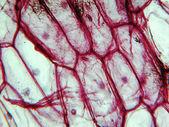 Onion epidermus micrograph — Zdjęcie stockowe