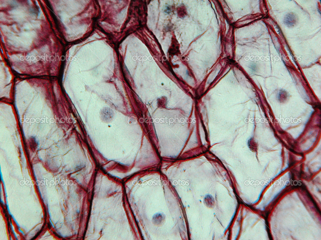 光洋葱 epidermus 显微细胞通过显微镜看到