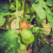 Retro look Tomato — Stock Photo