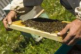 Närbild bild av arbetande bina på honung celler — Stockfoto