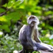 Stock Photo: Thoughtful monkey in Ubud forest, Bali