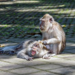 Stock Photo: One monkey helps to get rid of fleas to another