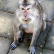 Monkey looking at camera in ubud forest, Bali - Foto Stock