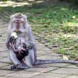 Mother and baby monkey eating - Foto Stock