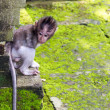 Stock Photo: Baby-monkey hiding in Ubud forest, Bali