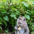 Monkey eating fruit in ubud forest, Bali — Stock Photo