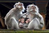Familia de mono — Foto de Stock