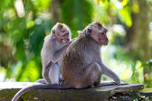 One monkey helps to get rid of fleas to another — Stock Photo