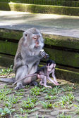 Mother and baby monkey eating — Stock Photo