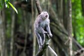 Whistling monkey in Ubud forest, Bali — Stock Photo