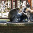 Stock Photo: Two monkeys help to get rid of fleas to another