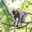 Monkey on tree branch in Ubud forest, Bali — Stock Photo