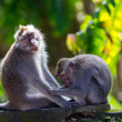 One monkey helps to get rid of fleas to another - Stok fotoraf