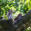 Two monkeys in Bali Ubud forest — Stock Photo