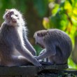 Two monkeys in Bali Ubud forest - Stok fotoraf