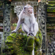 Monkey in ubud forest, Bali — Stock Photo
