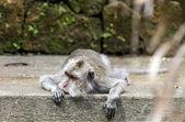 Monkey lying on stone in ubud forest, Bali — 图库照片
