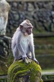 Thoughtful monkey in Ubud forest, Bali — Stock Photo