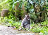 Monkey in nature, Ubud forest, Bali — Stock Photo