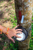 Tapping latex from a rubber tree closeup — Stock Photo