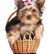 Cute yorkshire terrier puppy in a basket isolated over white — Stock Photo