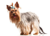 Yorkshire terrier dog looking at camera over white — Stock Photo