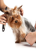 Grooming Yorkshire Terrier with a comb on white — Stock Photo