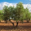 Olive trees — Stock Photo #13410518