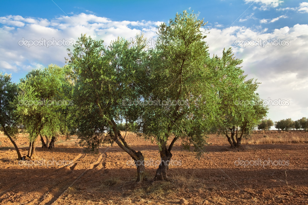 Olive tree orchard view in summer — Stock Photo #13410518