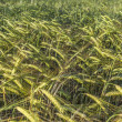 Field of barley — Stock Photo
