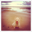 A west highland terrier enjoying a walk in the beach — Stock Photo