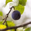 Royalty-Free Stock Photo: Plum on a tree