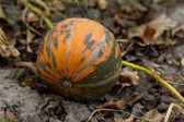 Organische pompoen — Stockfoto