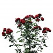 The bush of red rose against white background — Stock Photo #31598329