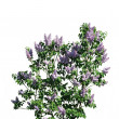 Stock Photo: The bush of lilac against white background