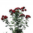 The bush of red rose — Stock Photo