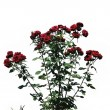 The bush of red rose — Stock Photo #31598337