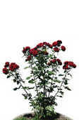 The bush of red rose against white background — Stock Photo